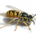 pic-of-wasp